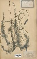 https://bibliotheque-virtuelle.bu.uca.fr/files/fichiers_bcu/Haloragaceae_Myriophyllum_verticillatum_CLF113893.jpg
