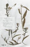 https://bibliotheque-virtuelle.bu.uca.fr/files/fichiers_bcu/Onagraceae_Oenothera_ernsteinensis_CLF113910.jpg