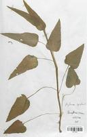 https://bibliotheque-virtuelle.bu.uca.fr/files/fichiers_bcu/Campanulaceae_Phyteuma_spicatum_CLF113977.jpg