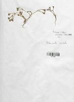 https://bibliotheque-virtuelle.bu.uca.fr/files/fichiers_bcu/Valerianaceae_Valerianella_coronata_CLF113958.jpg