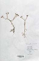 https://bibliotheque-virtuelle.bu.uca.fr/files/fichiers_bcu/Valerianaceae_Valerianella_eriocarpa_CLF113955.jpg