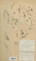 https://bibliotheque-virtuelle.bu.uca.fr/files/fichiers_bcu/Campanulaceae_Wahlenbergia_hederacea_CLF113998.jpg