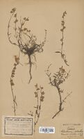 https://bibliotheque-virtuelle.bu.uca.fr/files/fichiers_bcu/Cistaceae_Helianthemum_apenninum_CLF114046.jpg