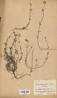 https://bibliotheque-virtuelle.bu.uca.fr/files/fichiers_bcu/Cistaceae_Helianthemum_x-sulfureum_CLF114048.jpg