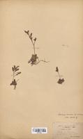 https://bibliotheque-virtuelle.bu.uca.fr/files/fichiers_bcu/Plumbaginaceae_Limonium_binervosum_dodartii_CLF114029.jpg