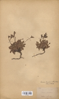 https://bibliotheque-virtuelle.bu.uca.fr/files/fichiers_bcu/Plumbaginaceae_Limonium_binervosum_occidentale_CLF114028.jpg