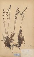https://bibliotheque-virtuelle.bu.uca.fr/files/fichiers_bcu/Plumbaginaceae_Limonium_vulgare_serotina_CLF114026.jpg