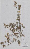 https://bibliotheque-virtuelle.bu.uca.fr/files/fichiers_bcu/Malvaceae_Malva_moschata_CLF114122.jpg