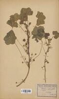 https://bibliotheque-virtuelle.bu.uca.fr/files/fichiers_bcu/Malvaceae_Malva_rotundifolia_CLF114125.jpg
