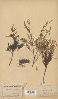 https://bibliotheque-virtuelle.bu.uca.fr/files/fichiers_bcu/Tamaricaceae_Tamarix_gallica_CLF114052.jpg