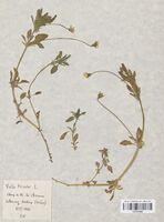 https://bibliotheque-virtuelle.bu.uca.fr/files/fichiers_bcu/Violaceae_Viola_tricolor_CLF114059.jpg