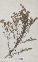 https://bibliotheque-virtuelle.bu.uca.fr/files/fichiers_bcu/Asteraceae_Aster_lanceolatus_CLF114439.jpg