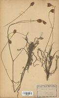 https://bibliotheque-virtuelle.bu.uca.fr/files/fichiers_bcu/Asteraceae_Catananche_caerulea_CLF114248.jpg