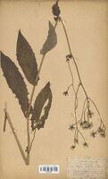 https://bibliotheque-virtuelle.bu.uca.fr/files/fichiers_bcu/Asteraceae_Crepis_paludosa_CLF114261.jpg