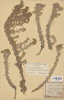 https://bibliotheque-virtuelle.bu.uca.fr/files/fichiers_bcu/Asteraceae_Diotis_candidissima_CLF114324.jpg