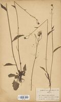 https://bibliotheque-virtuelle.bu.uca.fr/files/fichiers_bcu/Asteraceae_Hieracium_consociatum_CLF114186.jpg