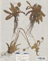 https://bibliotheque-virtuelle.bu.uca.fr/files/fichiers_bcu/Asteraceae_Hieracium_peleterianum_ligericum_CLF114179.jpg