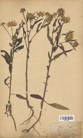 https://bibliotheque-virtuelle.bu.uca.fr/files/fichiers_bcu/Asteraceae_Inula_britannica_CLF114398.jpg