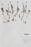 https://bibliotheque-virtuelle.bu.uca.fr/files/fichiers_bcu/Asteraceae_Matricaria_chamomilla_CLF114410.jpg