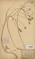 https://bibliotheque-virtuelle.bu.uca.fr/files/fichiers_bcu/Asteraceae_Matricaria_inodora_CLF114418.jpg