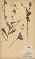 https://bibliotheque-virtuelle.bu.uca.fr/files/fichiers_bcu/Asteraceae_Picridium_tingitanum_discolor_maroccanum_CLF114257.jpg