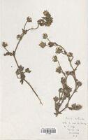 https://bibliotheque-virtuelle.bu.uca.fr/files/fichiers_bcu/Asteraceae_Picris_hieracoides_CLF114259.jpg