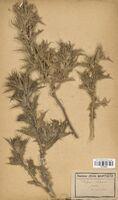 https://bibliotheque-virtuelle.bu.uca.fr/files/fichiers_bcu/Asteraceae_Scolymus_hispanicus_CLF114270.jpg