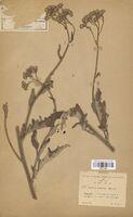 https://bibliotheque-virtuelle.bu.uca.fr/files/fichiers_bcu/Asteraceae_Senecio_ambiguus_CLF114303.jpg