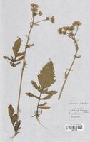 https://bibliotheque-virtuelle.bu.uca.fr/files/fichiers_bcu/Asteraceae_Senecio_aquaticus__CLF114293.jpg