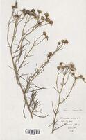 https://bibliotheque-virtuelle.bu.uca.fr/files/fichiers_bcu/Asteraceae_Senecio_inaequidens_CLF114294.jpg