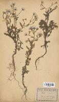 https://bibliotheque-virtuelle.bu.uca.fr/files/fichiers_bcu/Asteraceae_Senecio_viscosus_CLF114310.jpg