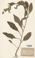 https://bibliotheque-virtuelle.bu.uca.fr/files/fichiers_bcu/Asteraceae_Solidago_virga-aurea_CLF114393.jpg