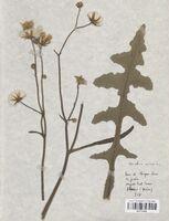 https://bibliotheque-virtuelle.bu.uca.fr/files/fichiers_bcu/Asteraceae_Sonchus_arvensis_CLF114244.jpg