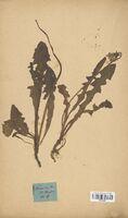 https://bibliotheque-virtuelle.bu.uca.fr/files/fichiers_bcu/Asteraceae_Taraxacum_dens-leonis_CLF114237.jpg