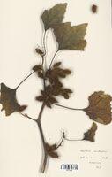https://bibliotheque-virtuelle.bu.uca.fr/files/fichiers_bcu/Asteraceae_Xanthium_saccharatum_CLF114203.jpg
