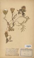 https://bibliotheque-virtuelle.bu.uca.fr/files/fichiers_bcu/Asteraceae_Carduncellus_mitissimus_CLF114287.jpg