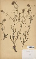 https://bibliotheque-virtuelle.bu.uca.fr/files/fichiers_bcu/Asteraceae_Centaurea_jacea_CLF114222.jpg