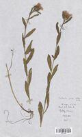 https://bibliotheque-virtuelle.bu.uca.fr/files/fichiers_bcu/Asteraceae_Centaurea_jacea_jacea_CLF114204.jpg
