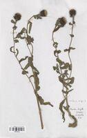 https://bibliotheque-virtuelle.bu.uca.fr/files/fichiers_bcu/Asteraceae_Centaurea_nigra_CLF114212.jpg