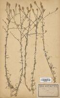 https://bibliotheque-virtuelle.bu.uca.fr/files/fichiers_bcu/Asteraceae_Centaurea_paniculata_CLF114228.jpg