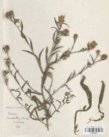 https://bibliotheque-virtuelle.bu.uca.fr/files/fichiers_bcu/Asteraceae_Centaurea_timbalii_CLF114214.jpg