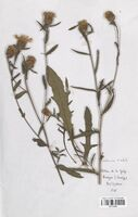 https://bibliotheque-virtuelle.bu.uca.fr/files/fichiers_bcu/Asteraceae_Centaurea_timbalii_CLF114216.jpg
