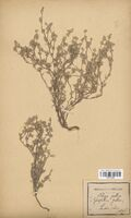 https://bibliotheque-virtuelle.bu.uca.fr/files/fichiers_bcu/Asteraceae_Filago_gallicum_CLF114370.jpg