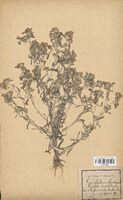 https://bibliotheque-virtuelle.bu.uca.fr/files/fichiers_bcu/Asteraceae_Gnaphalium_uliginosum_CLF114369.jpg