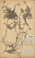 https://bibliotheque-virtuelle.bu.uca.fr/files/fichiers_bcu/Asteraceae_Helichrysum_stoechas_CLF114386.jpg