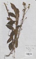 https://bibliotheque-virtuelle.bu.uca.fr/files/fichiers_bcu/Asteraceae_Hieracium_inuloides_CLF114198.jpg