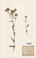 https://bibliotheque-virtuelle.bu.uca.fr/files/fichiers_bcu/Asteraceae_Serratula_tinctoria_CLF114339.jpg