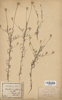 https://bibliotheque-virtuelle.bu.uca.fr/files/fichiers_bcu/Asteraceae_Xeranthemum_cylindraceum_CLF114384.jpg