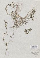 https://bibliotheque-virtuelle.bu.uca.fr/files/fichiers_bcu/Callitrichaceae_Callitriche_obtusangula_CLF114464.jpg
