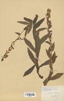 https://bibliotheque-virtuelle.bu.uca.fr/files/fichiers_bcu/Scrophulariaceae_Digitalis_lutea_CLF114507.jpg